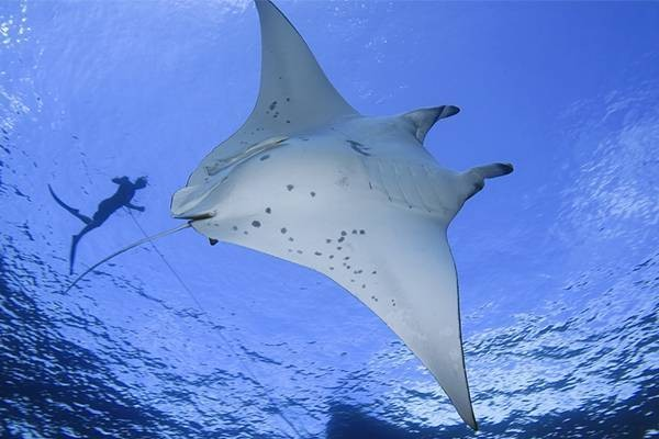 diving with manta ray's in Fiji